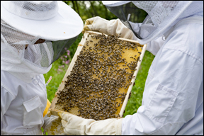 beekeepers examining a frame of honeycomb